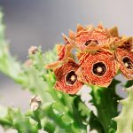 Close up view of Huernia's flowers  with blurry grey background